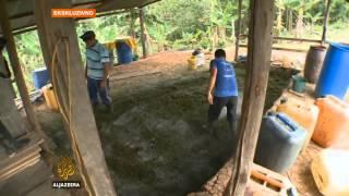 Uzgajanje koke unosnije od legalnih kultura - Al Jazeera Balkans