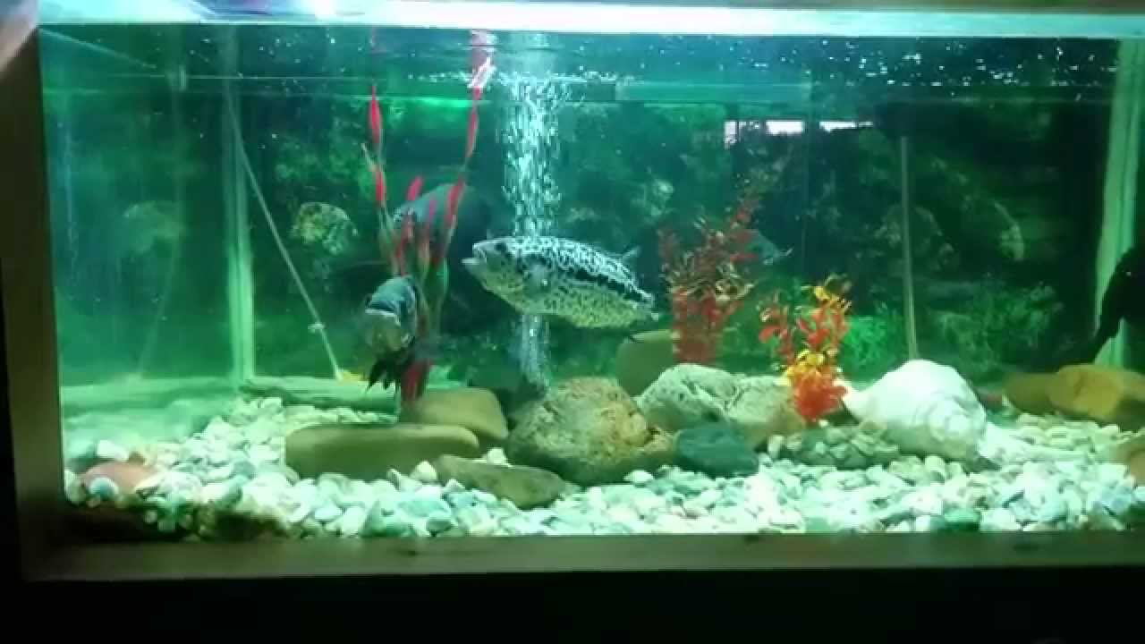 Acuario pira a pareja de peces oscar y jaguar youtube for Tipos de peces ornamentales
