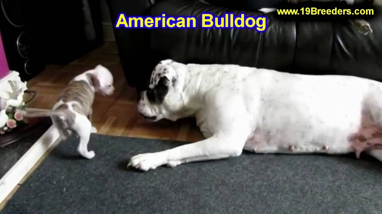american bulldog, puppies, dogs, for sale, in newark, new jersey, nj,  19breeders, paterson, edison