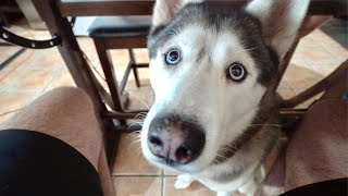 What My Husky Begging For Food Looks Like!