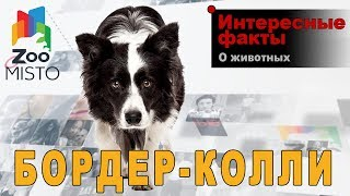 Бордер-колли - Интересные факты о породе  | Собака породы бордер-колли