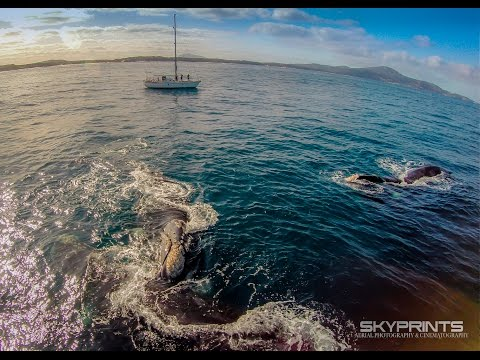Southern Right Whales Mating. Albany, Western Australia