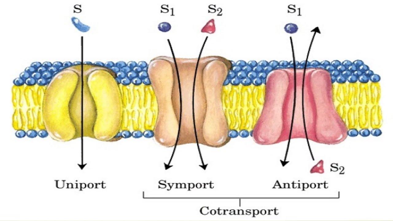 Cotransport Mechanism
