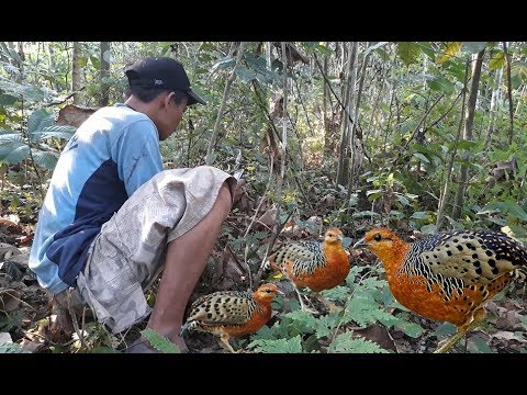 Pikat Burung Puyuh Hutan Menggunakan Suara Bikin Gerget Youtube