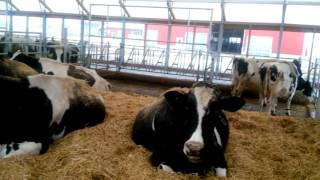 Doral Farms 62' x 190' Atlas Building Series Dairy Barn - Breakfast with the Cows