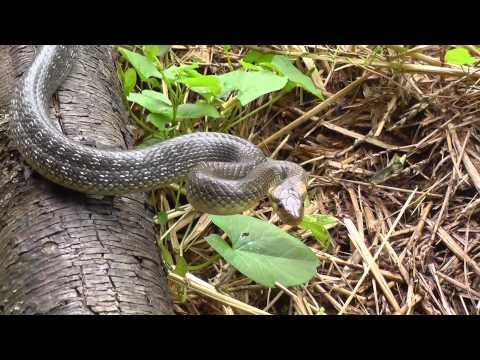 Äskulapnatter (Zamenis longissimus, Syn. Elaphe longissima) - Größte Schlange in Deutschland
