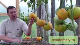 Сорта томатов для выращивания в теплице(Заказать семена этого сезона Вы можете на специальном сайте: http://semena.svoitomaty.ru/, 2014-11-20T14:22:16.000Z)