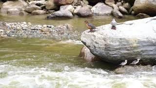 Torrent Duck at Guango Lodge | WILD ECUADOR ADVENTURES