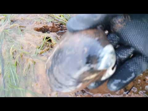 갯벌 에서 조개잡이 .. 큰 조개만 찾어서 조개