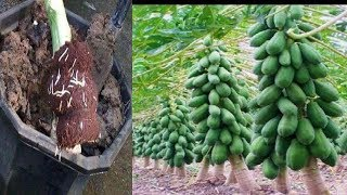 Apply papaya with coconut \ agri cambo
