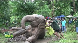 Big wild elephant captured from Tissamaharama ( Part 2)