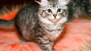 Американский Керл порода кошек
