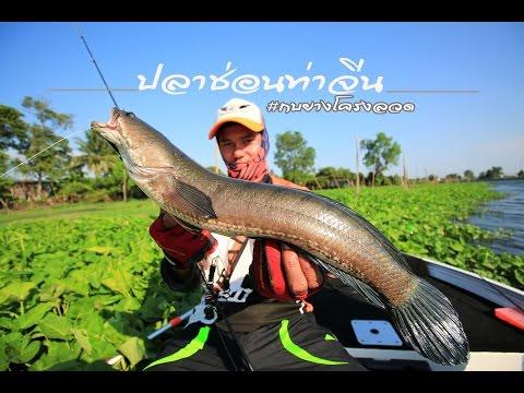 ตกปลาช่อนแม่น้ำท่าจีน # ( ตกปลาช่อน2016) #snake head fishing youtube
