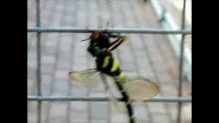【グロ注意】スズメバチを喰うオニヤンマ (The dragonfly which eats a hornet)