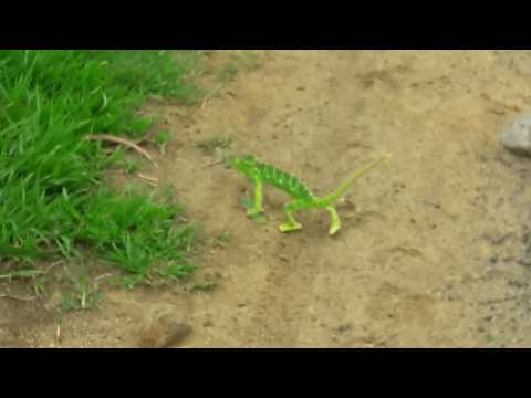 Chameleon changing colour.Really Amazing
