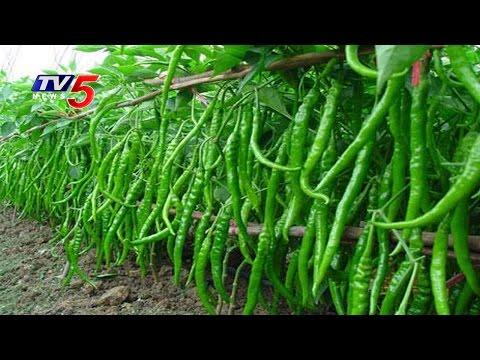 Chilli Seeds Shortage In Warangal | Annapurna | TV5 News