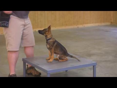 """Red Sable German Shepherd """"Irma"""" 13 Wks Puppy Obedience Personal Protection Dog For Sale"""