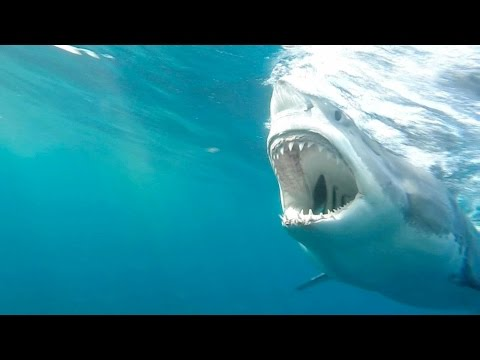 Understanding Jaws: Great White Shark Bites