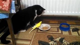 попугай и кот из одной миски жрут кошачий корм