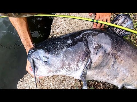 MONSTER CATFISH From TINY POND!!! (HOT DOGS As BAIT)