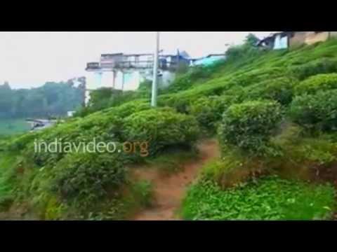 Kanchan View Tea Garden, Darjeeling