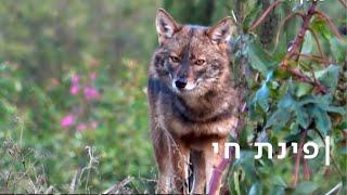 טורף בלב תל אביב: התן הזהוב השתלט על העיר