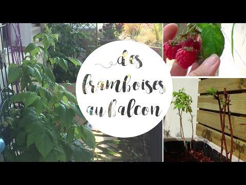 Planter un framboisier en pot pour le balcon