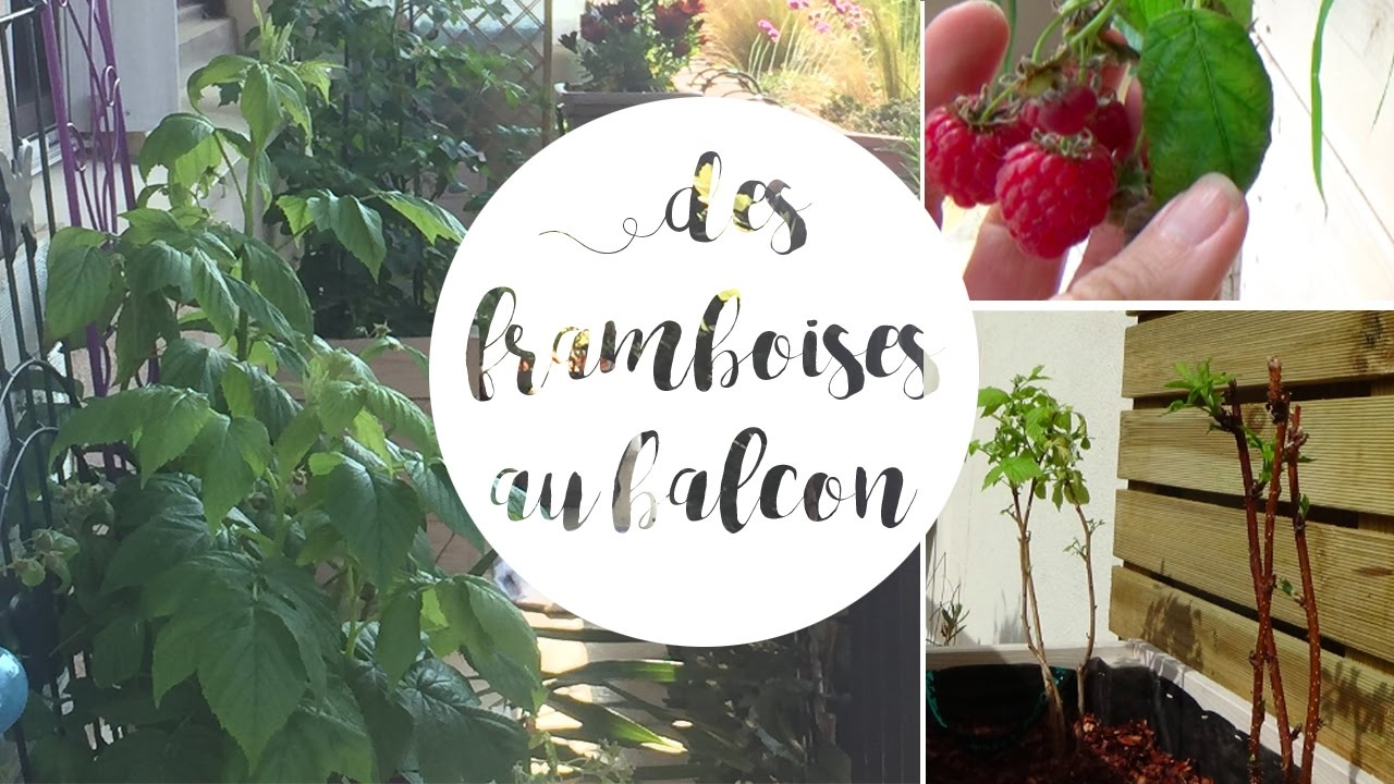 Planter un framboisier en pot pour le balcon - YouTube