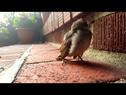 Baby Sparrow Chirping for Mother