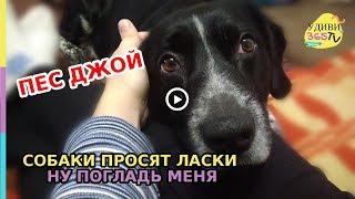 СОБАКИ ПРОСЯТ ЛАСКИ, НУ ПОГЛАДЬ МЕНЯ. ПЕС ДЖОЙ. Dogs ask for affection, pat me.