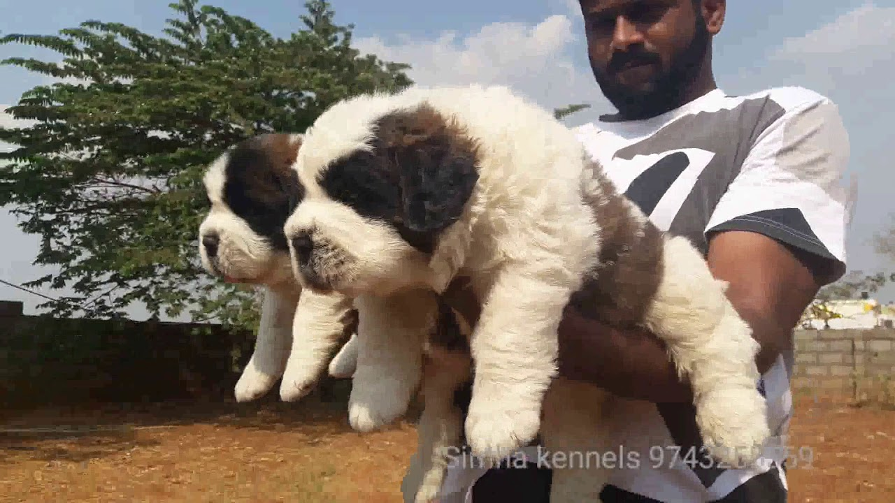 Best Saint Bernard Puppies Available In Bangalore Youtube
