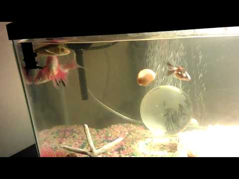 New 10 gal tank wit small butterfly koi youtube for 10 gallon koi tank