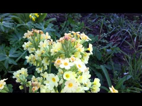 Gartenhummel-Königin besucht Schlüsselblume