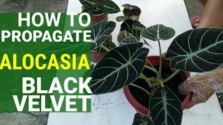 Alocasia BLACK VELVET MULTIPLY   HOW TO WATER   Propagation   Repotting   NURSERY SECRET!