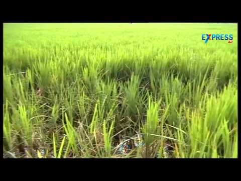 Tips to control Rodent Rats in Paddy fields | Paadi Pantalu