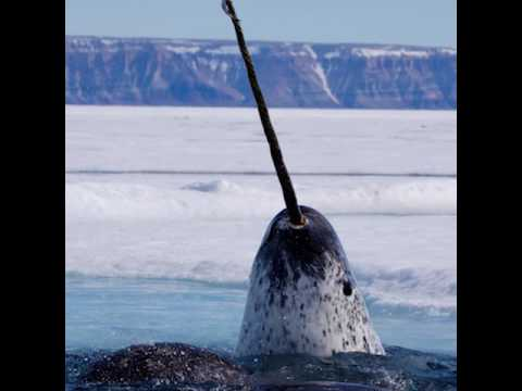 A New Narwhal Discovery