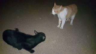 영역내의 고양이들을 무자비하게 길들이는 대장 고양이 boss cat strongly control