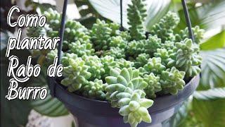 Como Plantar Suculenta Rabo de Burro – Como Cuidar do Sedum Morganianum ou Suculenta Dedo de Moça