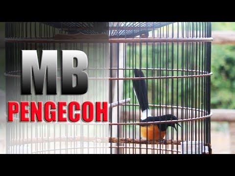 Pecinta Murai Batu Borneo | Video PENGECOH Habis Gantang Juara 1