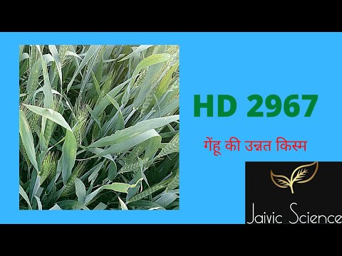HD 2967 wheat variety//Jaivic Science