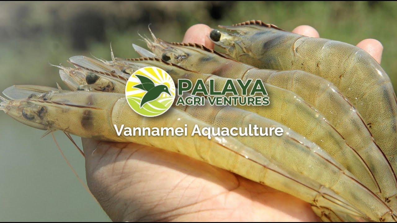 Download Vannamei Webinar by Palaya Agriventures