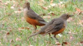Mating dance, birds courting, Orange Thrush, Turdus rufiventris,