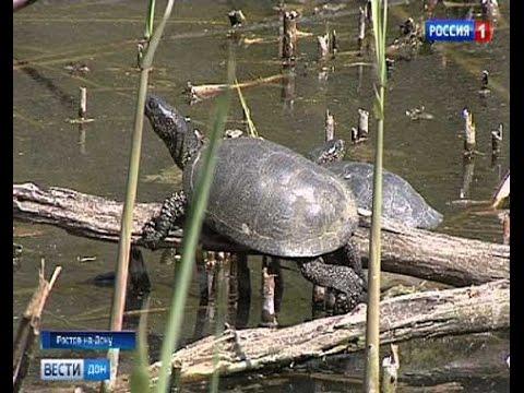 Аквариумные черепахи, которых выпускают на волю, могут угрожать популяции болотной черепахи