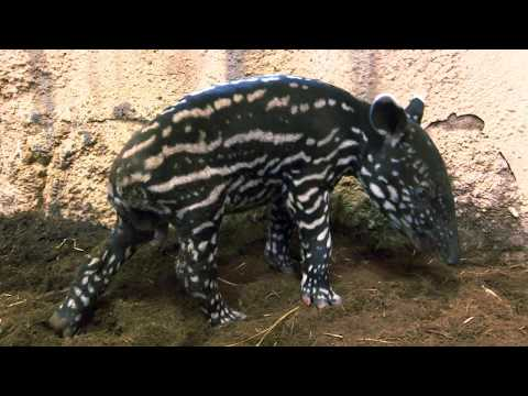 Mládě tapíra: jméno v morseovce - Zoo Praha