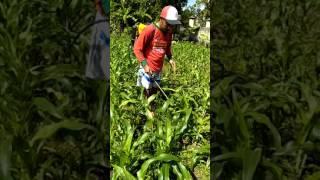 Cara membasmi hama rumput yg paling cepat
