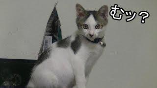 俺の鳴きマネが猫に通じるのか試してみた Squeal imitating cat thumbnail