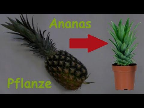Ananas Pflanze Selber Ziehen Ananas Vermehren Pflanzen