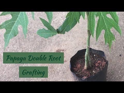How to Grafting Papaya Tree ( Double Root)