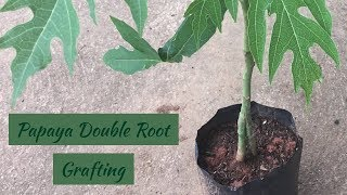 How to Grafting Papaya Tree ( Double Root)