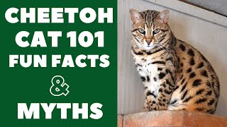 Cheetoh Cats 101 : Fun Facts & Myths